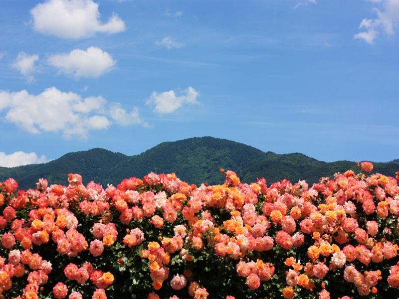 さかきばら祭り バラと山