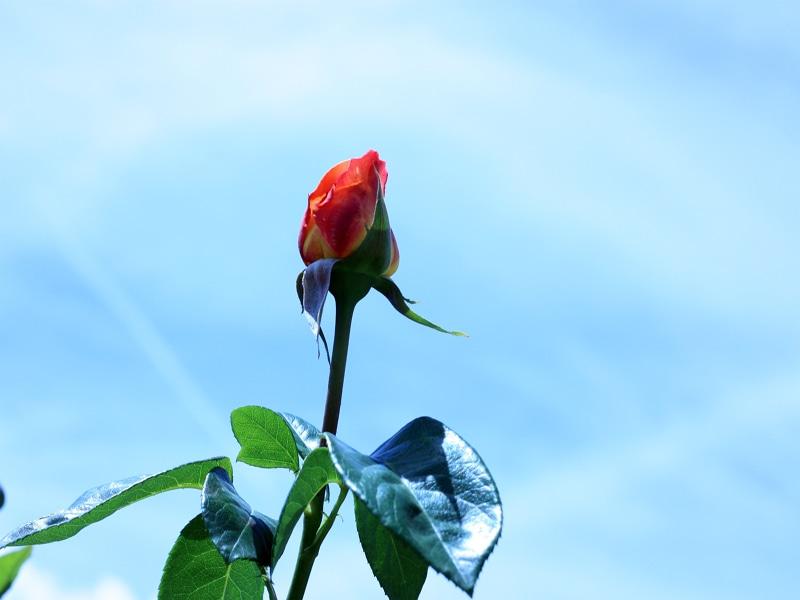 さかきばら祭り バラのつぼみ