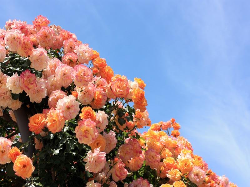 さかきばら祭り バラのアーチ02