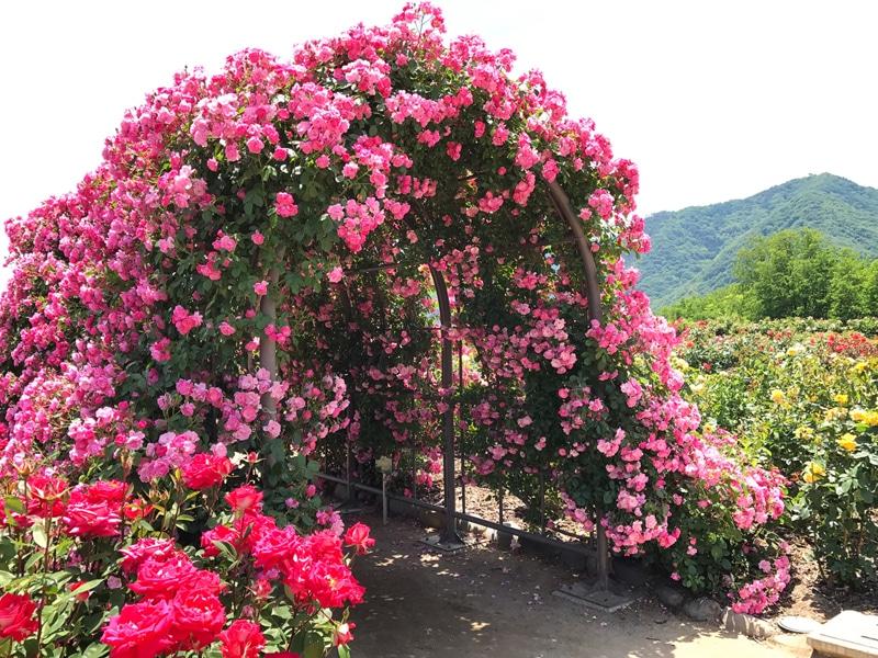 さかきばら祭り バラのアーチ03