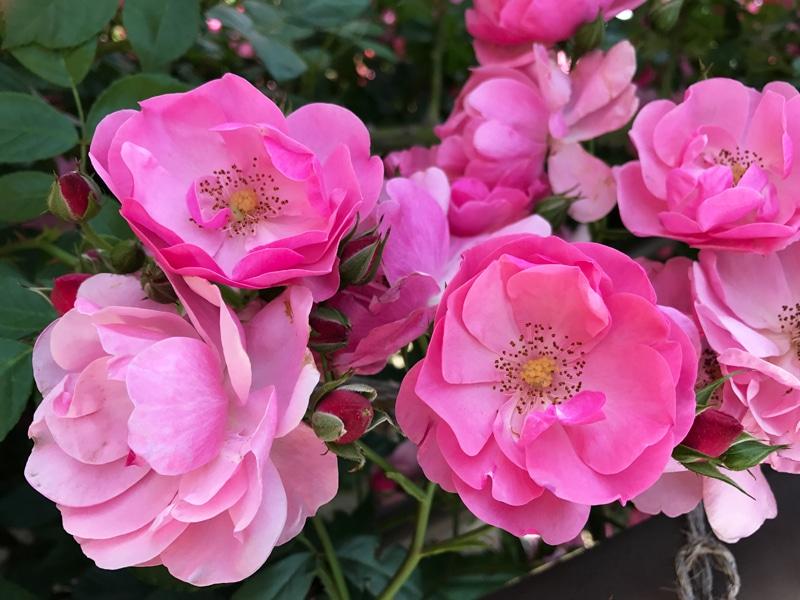 さかきばら祭り ピンクのバラ