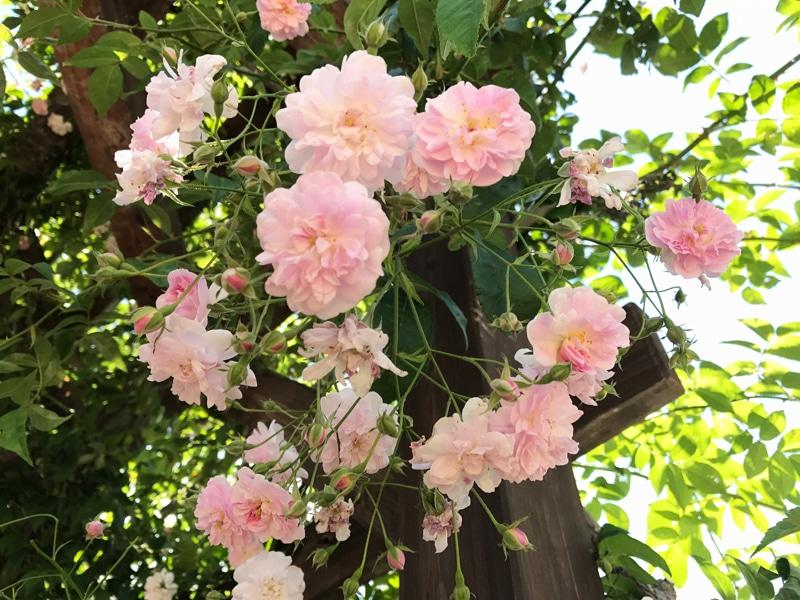 さかきばら祭り ピンクのバラ02