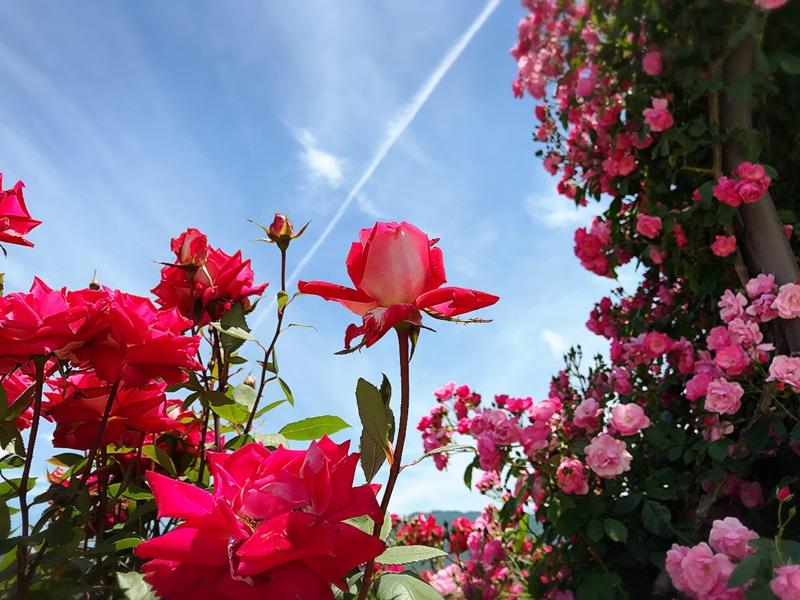 さかきばら祭り バラとつぼみ