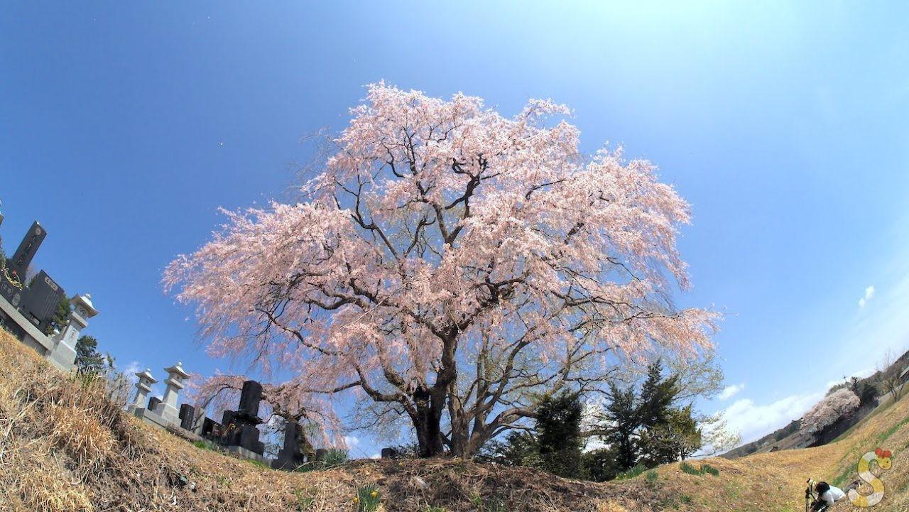 田端のしだれ桜 富士見町