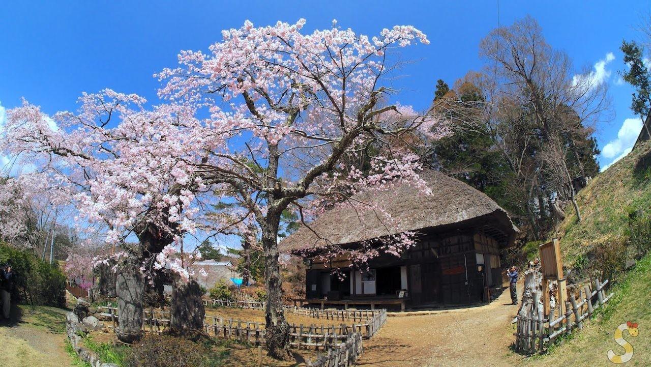 高森観音堂の桜 富士見町