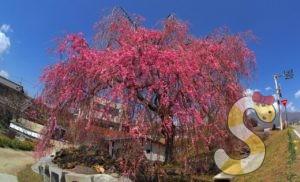 先達のしだれ桜 富士見町