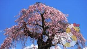 葛窪のしだれ桜 富士見町