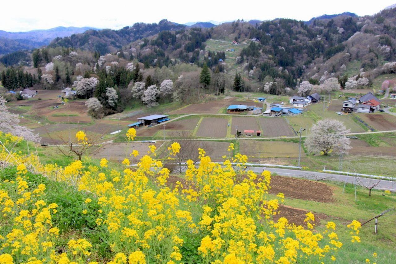 小川村・二反田の桜