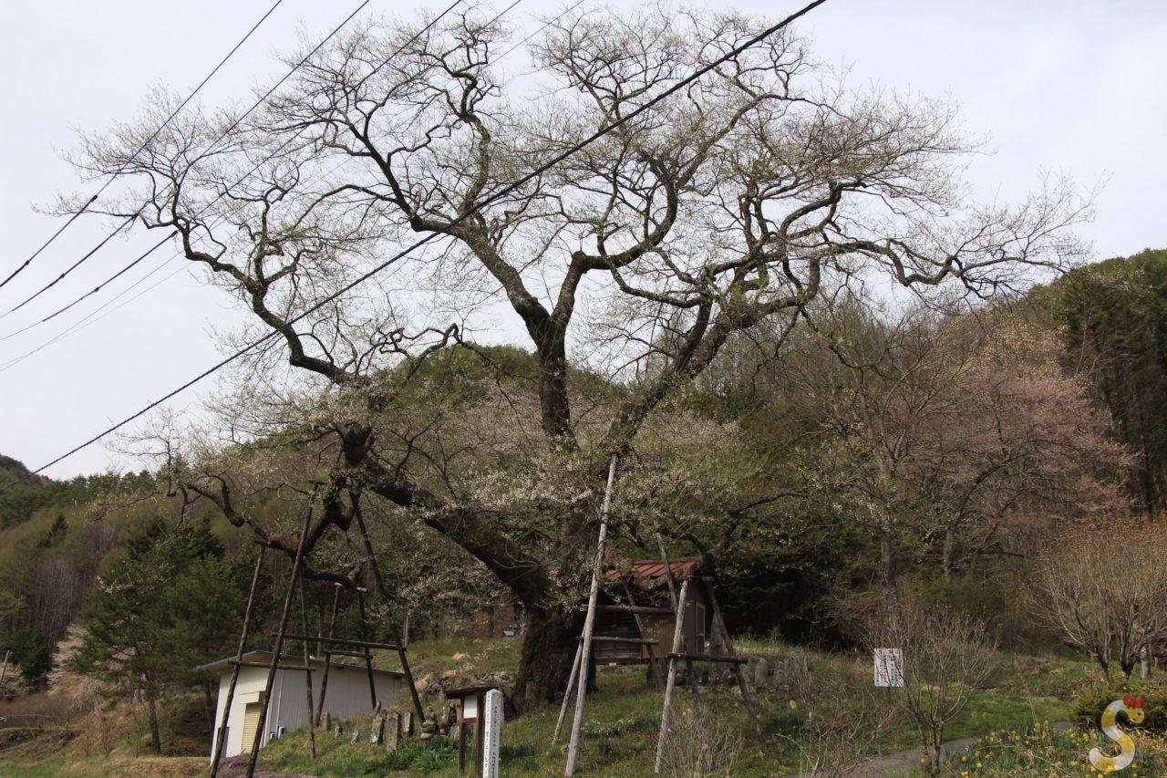 木祖村・菅のエドヒガンザクラ
