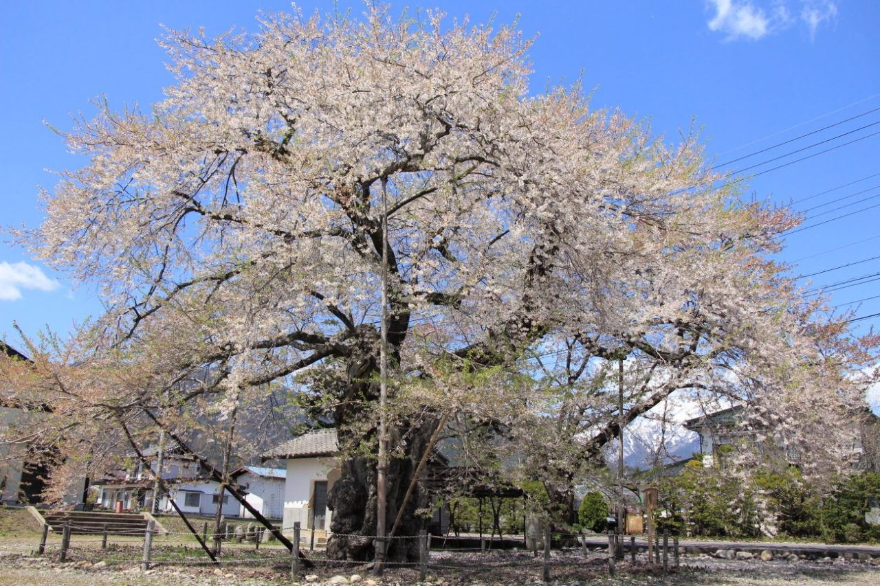 大町市・高根町曽根田のエドヒガン桜