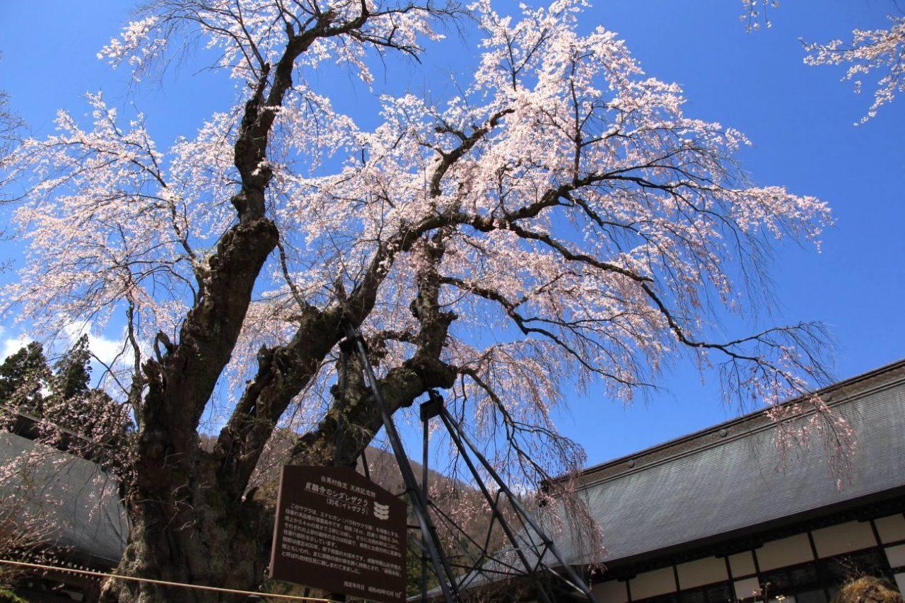 白馬村・貞麟寺の彼岸しだれ桜