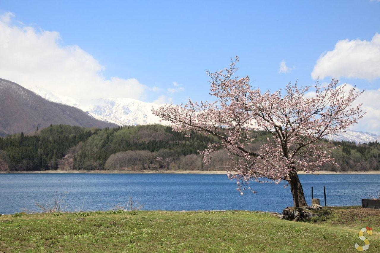 大町市・青木湖畔の大山桜