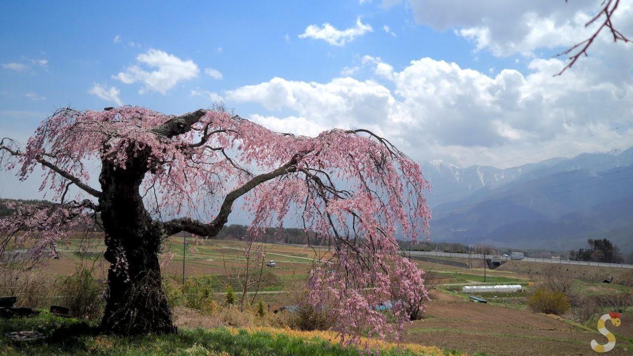 富士見町、葛窪しだれ桜