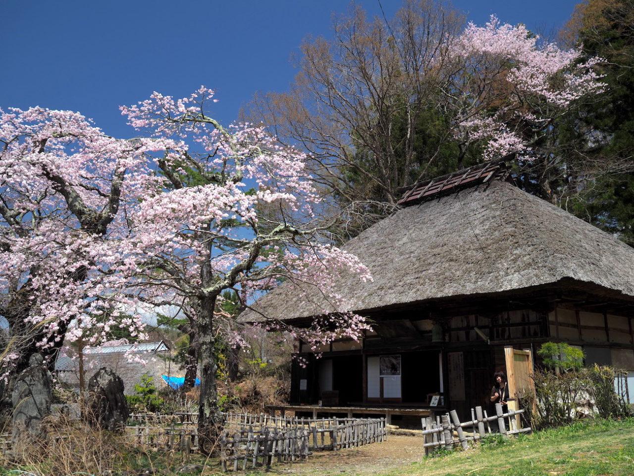 富士見町 高森観音堂の一本桜