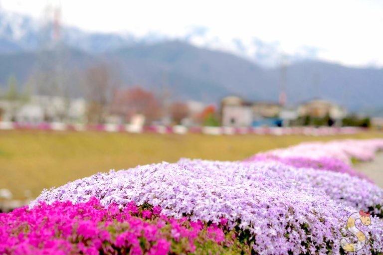 大町市の芝桜