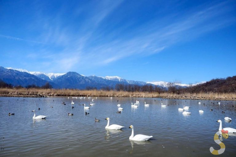 御宝田遊水池の白鳥|安曇野市明科
