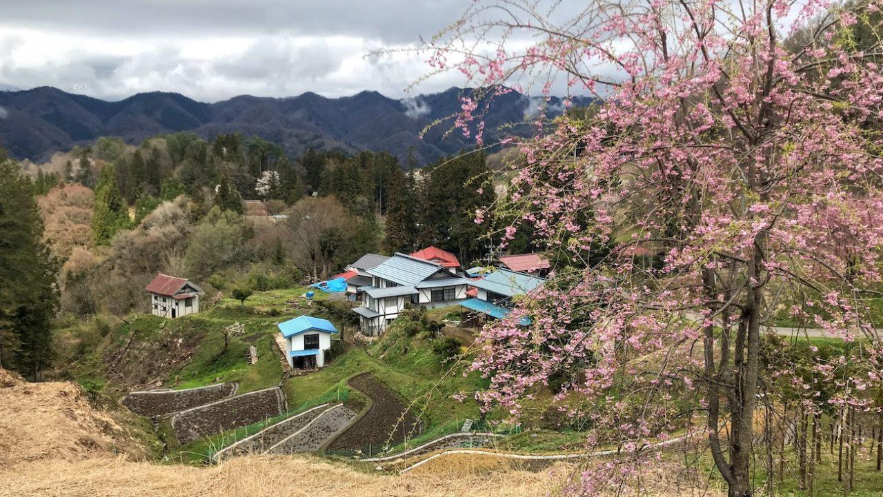 小川村「番所の桜」「立屋の桜」