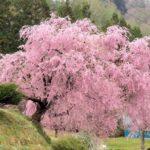 小川村番所の桜