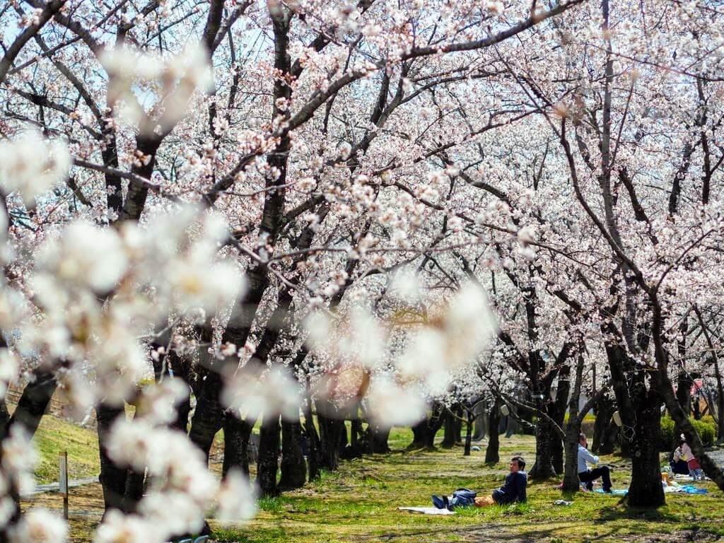 長野市川中島古戦場公園の桜