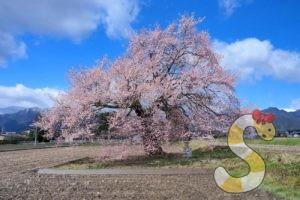 大町市須沼の田打ち桜