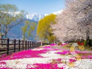 【安曇野】拾ヶ堰じてんしゃひろばの桜と芝桜の撮影スポットガイド