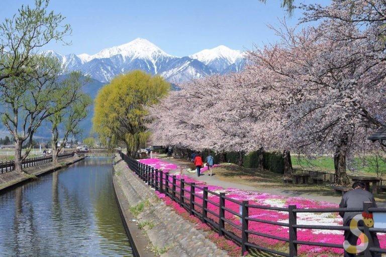 安曇野市拾ヶ堰じてんしゃひろばの桜