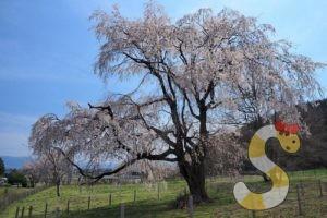 岩原の大しだれ桜