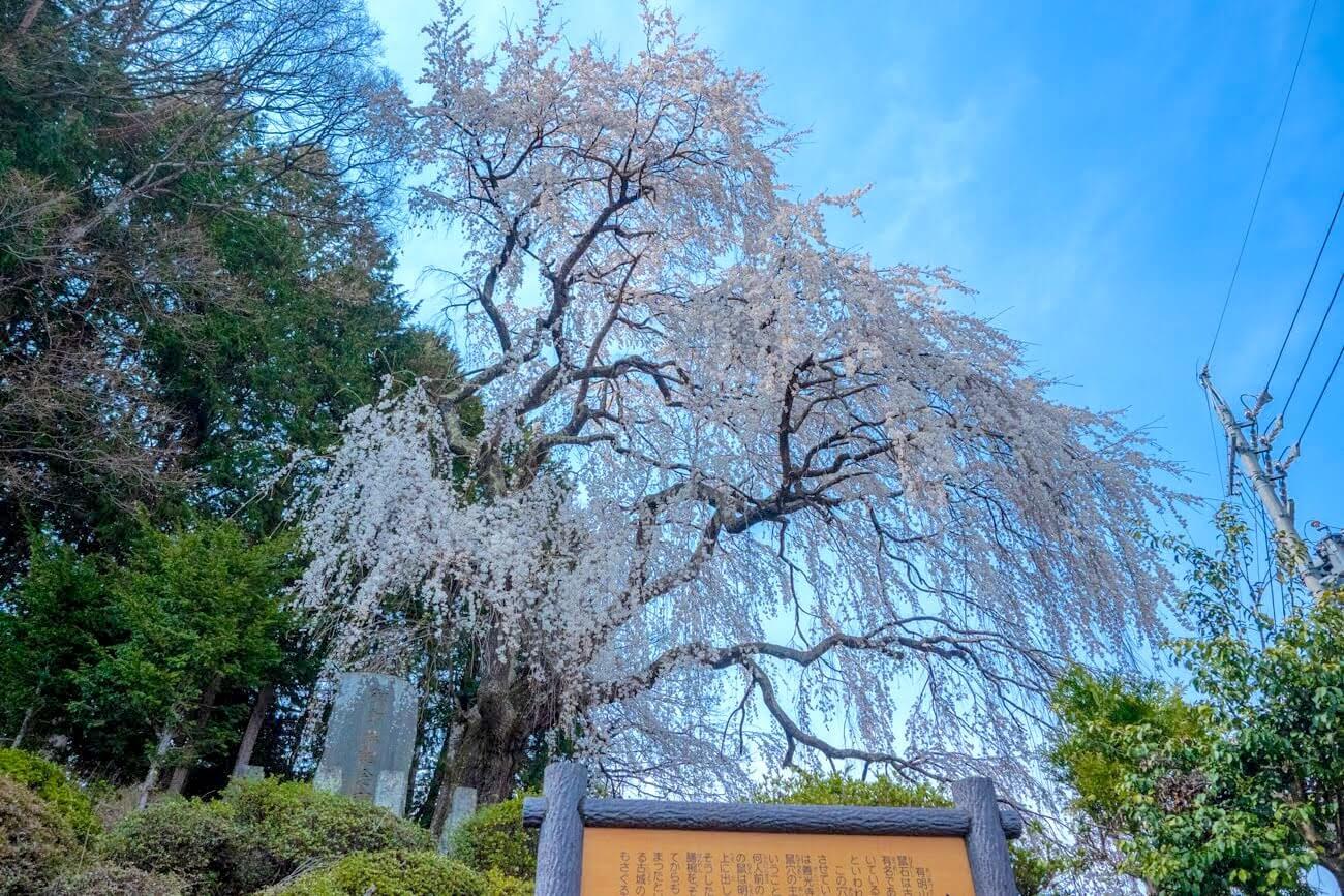 鼠石のしだれ桜