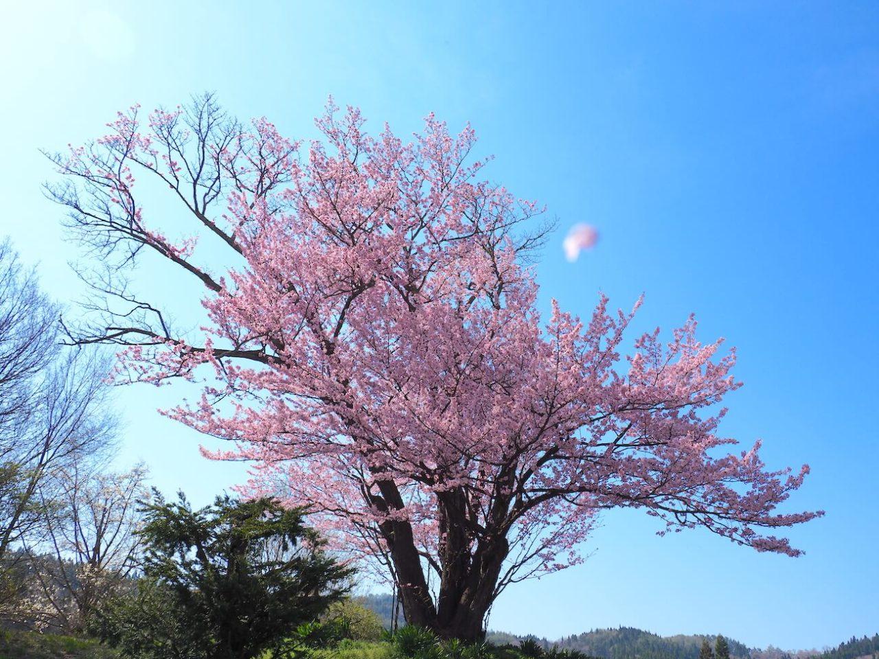 飯綱町地蔵久保の大山桜