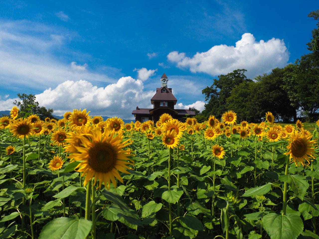 飯山市菜の花公園のひまわり