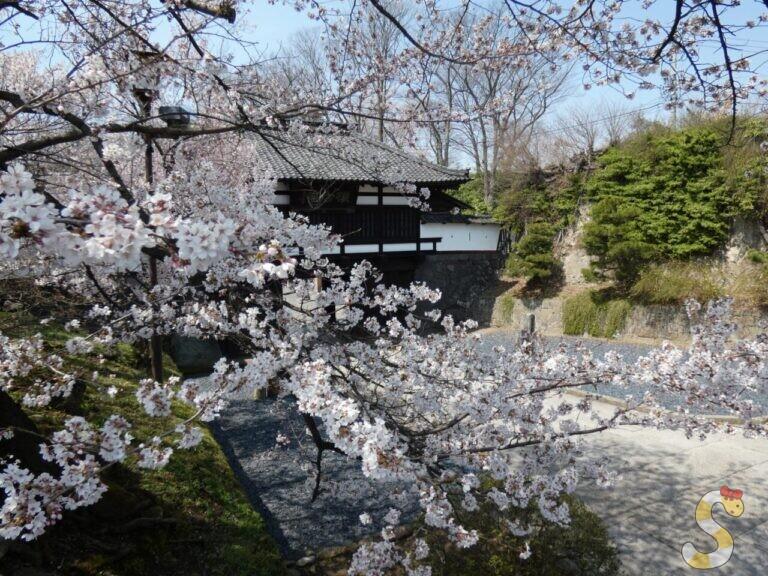 小諸城址懐古園の桜