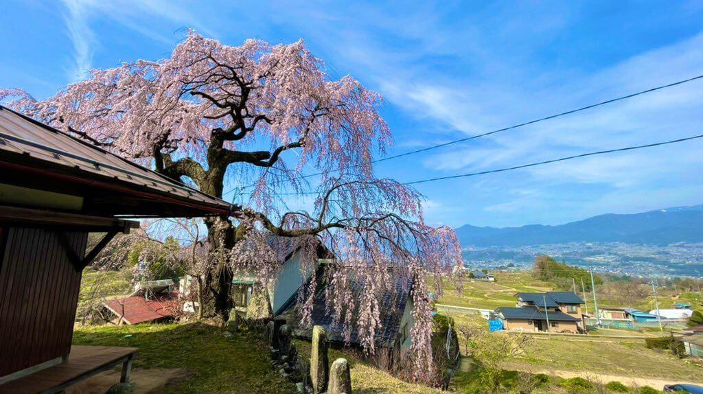 豊丘村の一本桜