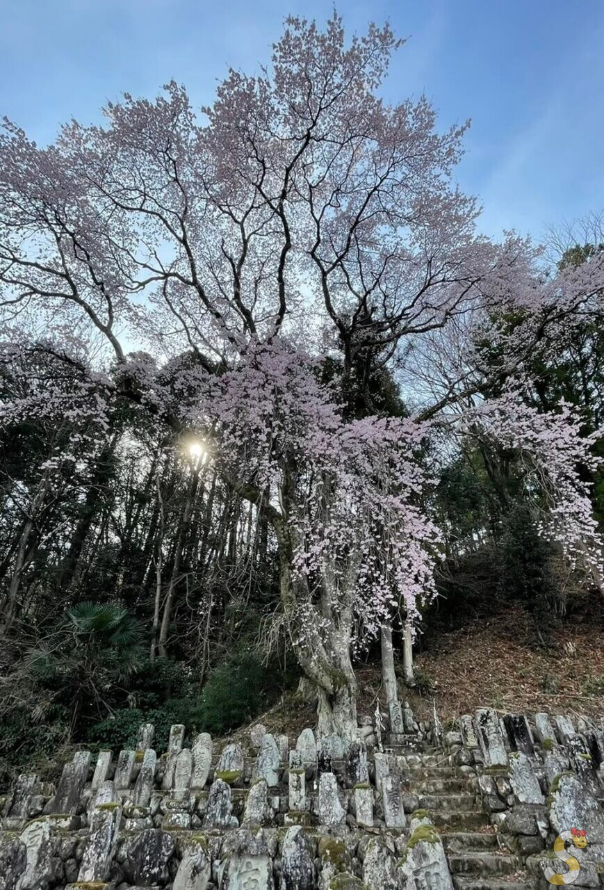 豊丘村の百体庚申一本桜